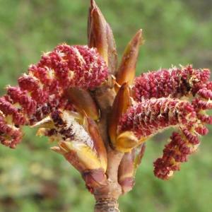 Photographie n°739216 du taxon Populus nigra L.