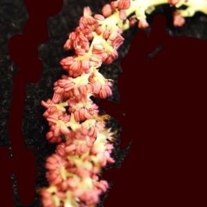 Photographie n°739224 du taxon Populus nigra L.