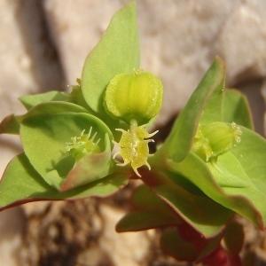Photographie n°739330 du taxon Euphorbia peplus L. [1753]