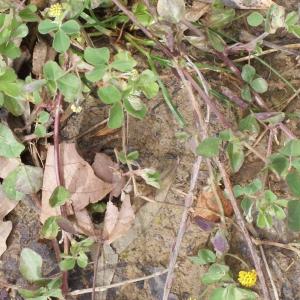 Photographie n°739543 du taxon Trifolium campestre Schreb. [1804]