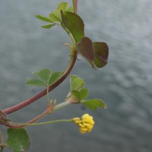 Photographie n°739551 du taxon Trifolium campestre Schreb. [1804]