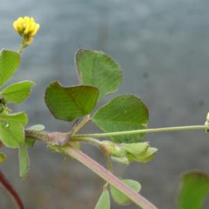 Photographie n°739552 du taxon Trifolium campestre Schreb. [1804]