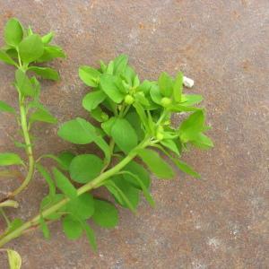 Photographie n°740249 du taxon Euphorbia peplus L. [1753]