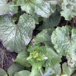 Photographie n°740514 du taxon Lunaria annua L.
