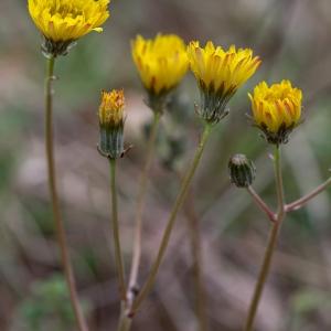 Photographie n°740793 du taxon Crepis nicaeensis Balb. [1807]