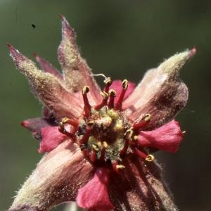 Photographie n°740880 du taxon Potentilla palustris (L.) Scop.