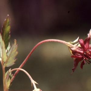 Photographie n°740881 du taxon Potentilla palustris (L.) Scop.