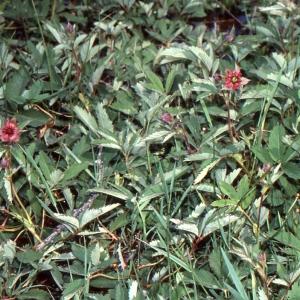 Photographie n°740882 du taxon Potentilla palustris (L.) Scop.