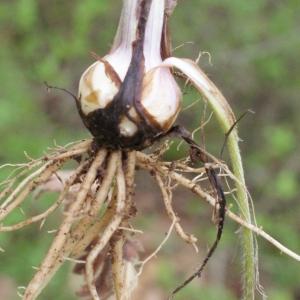 Photographie n°741397 du taxon Ranunculus bulbosus L. [1753]