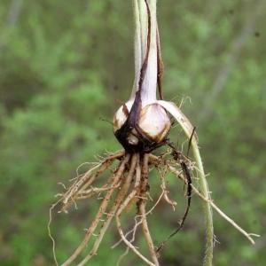 Photographie n°741398 du taxon Ranunculus bulbosus L. [1753]