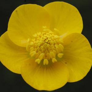 Photographie n°741401 du taxon Ranunculus bulbosus L. [1753]