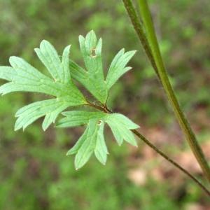 Photographie n°741407 du taxon Ranunculus bulbosus L. [1753]