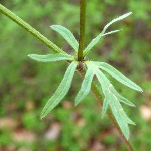 Photographie n°741412 du taxon Ranunculus bulbosus L. [1753]