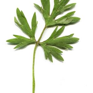 Photographie n°741418 du taxon Ranunculus bulbosus L. [1753]