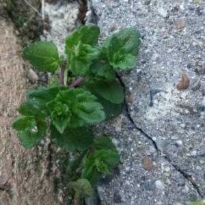 Photographie n°741505 du taxon Veronica chamaedrys L. [1753]