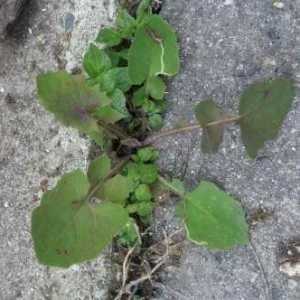 Photographie n°741509 du taxon Crepis sancta (L.) Bornm. [1913]