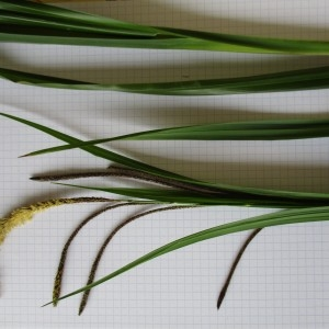 Photographie n°741792 du taxon Carex pendula Huds.