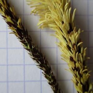 Photographie n°741793 du taxon Carex pendula Huds.
