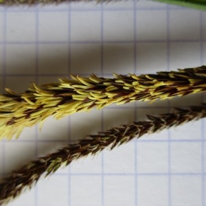 Photographie n°741794 du taxon Carex pendula Huds.