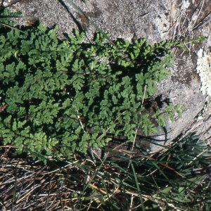Photographie n°742062 du taxon Cheilanthes maderensis Lowe