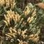 Liliane Roubaudi - Lycopodium alpinum L. [1753]