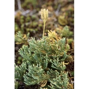 Lycopodium tristachyum Pursh (Lycopode petit Cyprès)