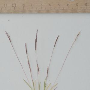 Photographie n°742254 du taxon Mibora minima (L.) Desv.