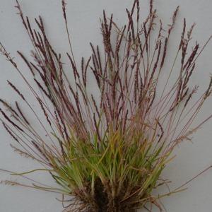 Photographie n°742255 du taxon Mibora minima (L.) Desv.