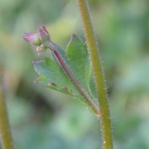 Photographie n°742345 du taxon Saxifraga granulata L.