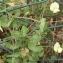 Genevieve Botti - Lathyrus ochrus (L.) DC.