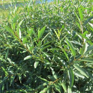 Photographie n°742646 du taxon Salix triandra L. [1753]