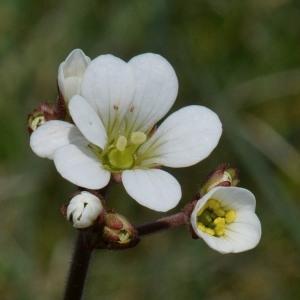 Photographie n°743188 du taxon Saxifraga granulata L.