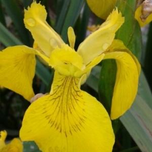 Photographie n°743368 du taxon Iris pseudacorus L. [1753]