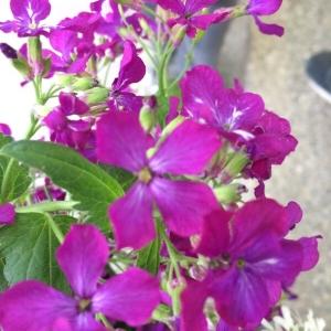 Photographie n°743539 du taxon Brassicaceae