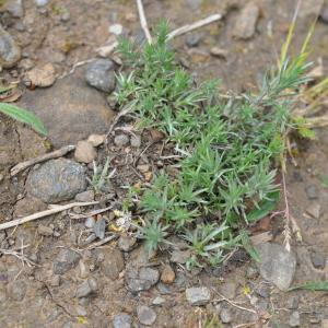 Photographie n°743653 du taxon Logfia gallica (L.) Coss. & Germ.