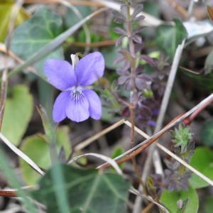 Photographie n°743659 du taxon Viola riviniana Rchb.