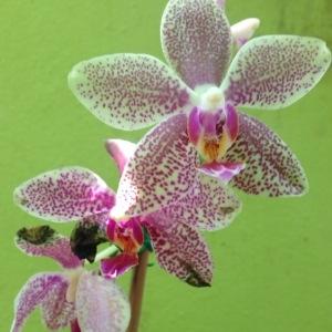 Photographie n°743675 du taxon Orchidaceae