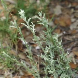 Photographie n°743688 du taxon Centaurea paniculata L. [1753]