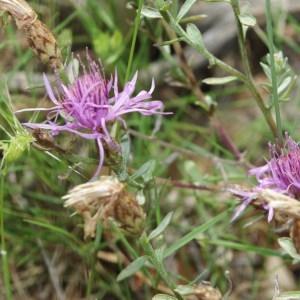 Photographie n°743689 du taxon Centaurea paniculata L. [1753]
