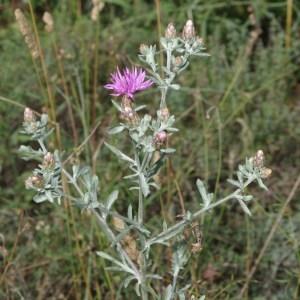 Photographie n°743701 du taxon Centaurea paniculata L. [1753]
