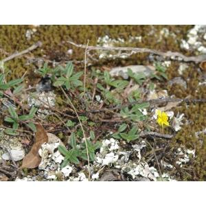 Helianthemum italicum (L.) Pers. var. italicum (Hélianthème d'Italie)
