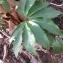 yannick OTT - Helleborus viridis L. [1753]