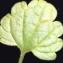 Liliane Roubaudi - Lamium amplexicaule L. [1753]