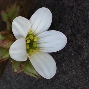 Photographie n°744219 du taxon Saxifraga granulata L.