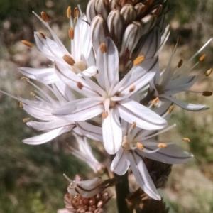 - Asphodelus cerasiferus J.Gay