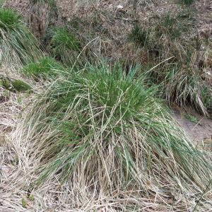 Photographie n°744413 du taxon Carex paniculata L.