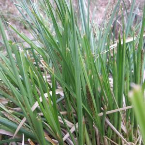 Photographie n°744417 du taxon Carex paniculata L.