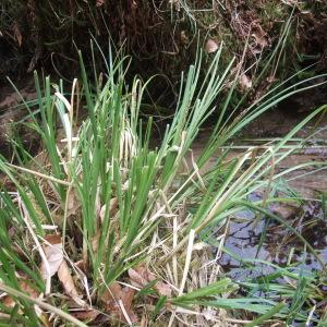 Photographie n°744439 du taxon Carex paniculata L.
