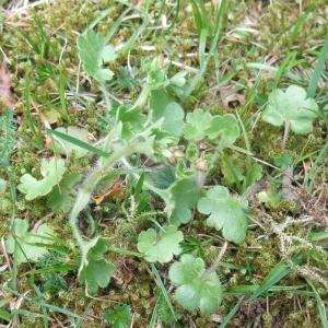Photographie n°744454 du taxon Saxifraga granulata L.