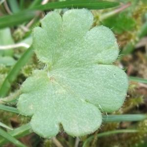 Photographie n°744455 du taxon Saxifraga granulata L.